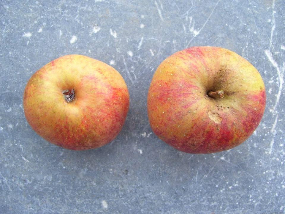 Anciennes vari t s de pommes - Variete de pomme de terre ancienne ...